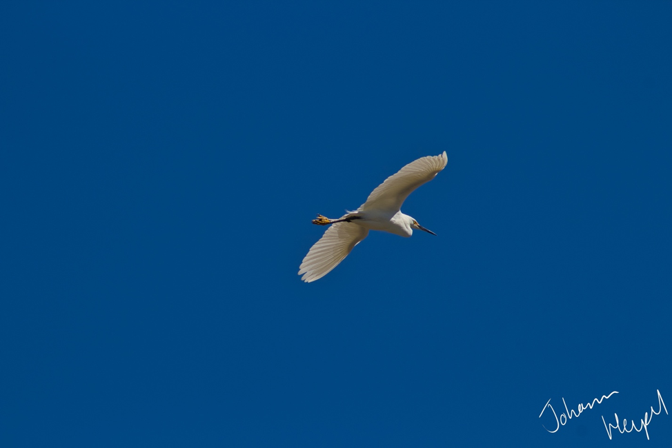 image shows a snowy egret soaring through a deep blue sky