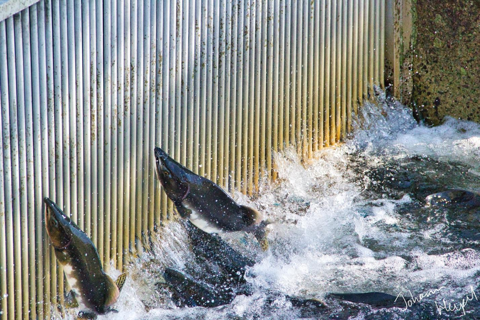 Photo shows massive salmon leaping out of turbulent waters at the base of a dam